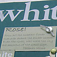 Bev_watt_white_rose_3
